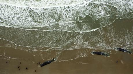 Dead sperm whales are seen on a beach on Texel Island, The Netherlands, January 13, 2016. © Cris Toala Olivares
