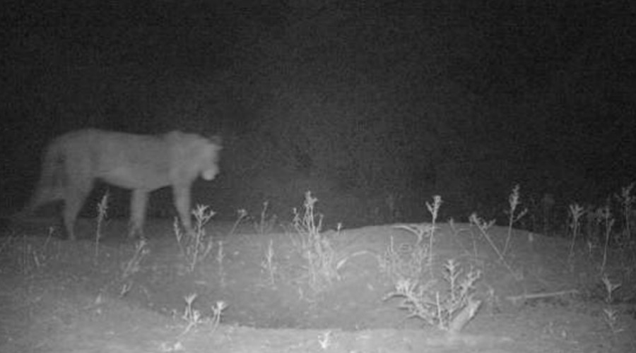 'Lost lions' located in Africa: Conservationists find evidence of new prides in the wild