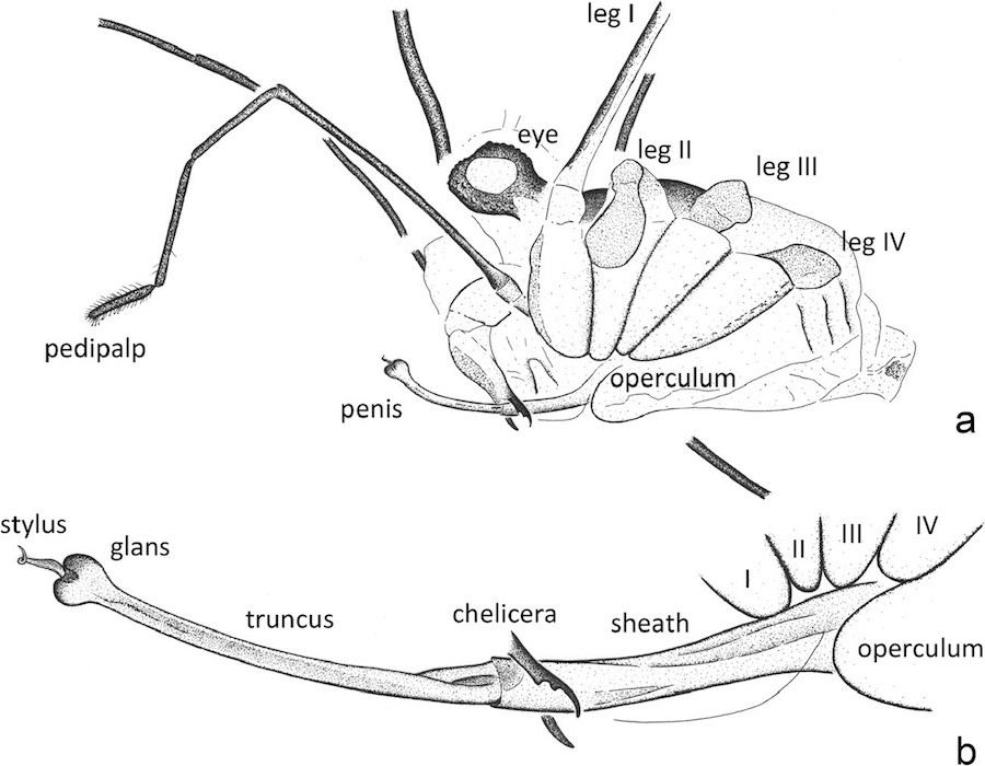 An illustration of the fossilized harvestman © Jason Dunlop et al., The Science of Nature