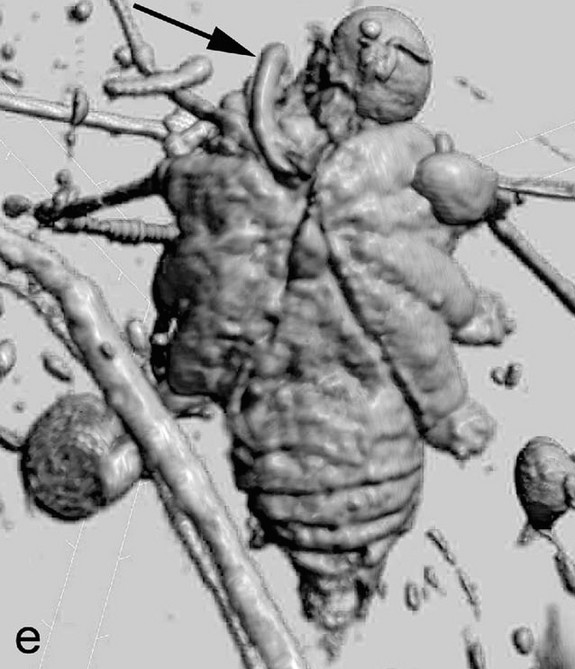 A computed microtomography view of h. grimaldii from below. The phallus is  marked by an arrow.  © Jason Dunlop et al., The Science of Nature