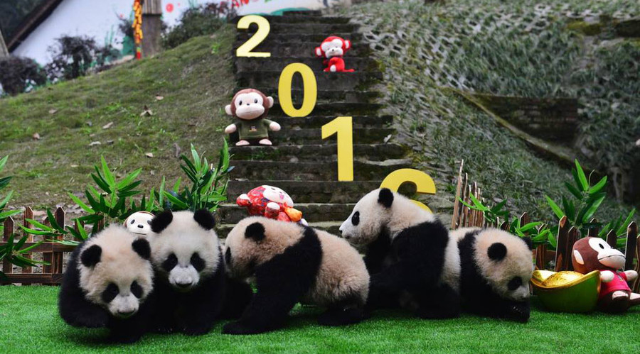 The cubs were celebrating the Spring Festival. © People's Daily China