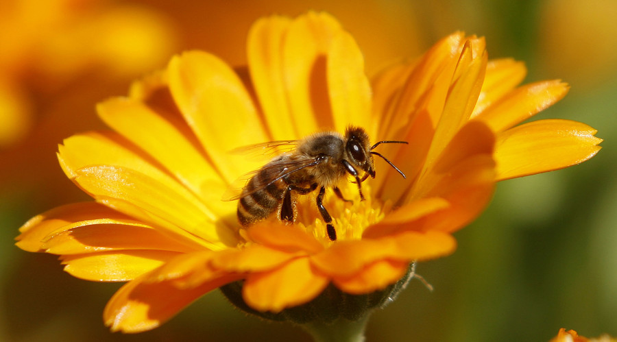 Bee virus pandemic is human made, started with European bees - study