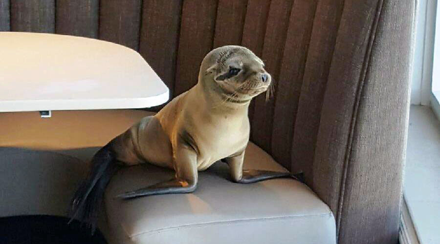 This sea lion wandered into a restaurant and took a seat. © Bernard Guillas