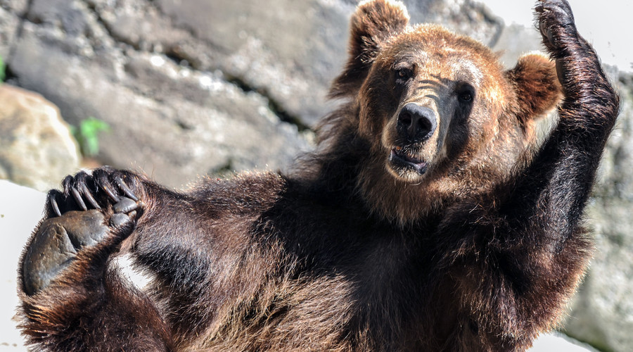 Bears' gut microbes help stave off ill effects of the munchies – research