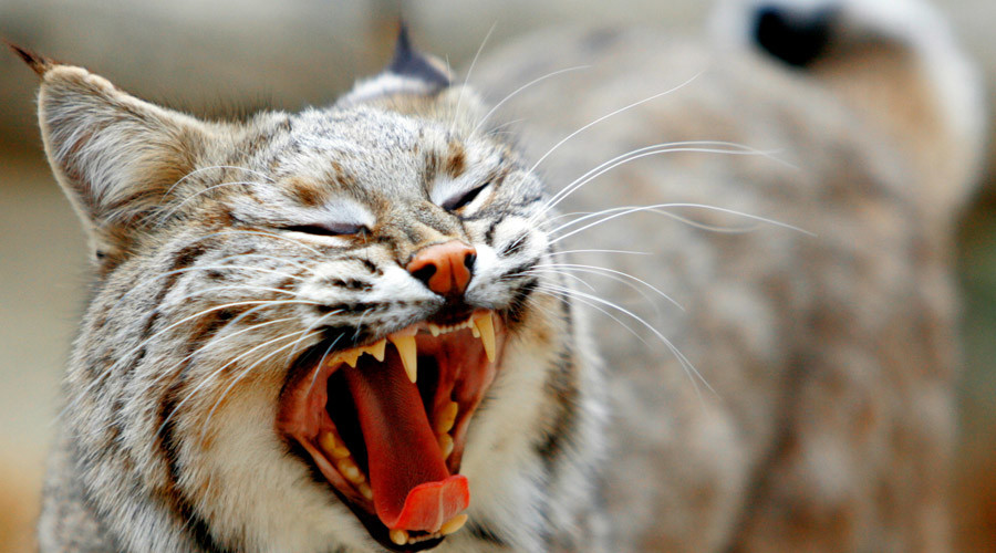 I can haz wild kitty? Ohio Supreme Court asked to rule on bobcat ownership
