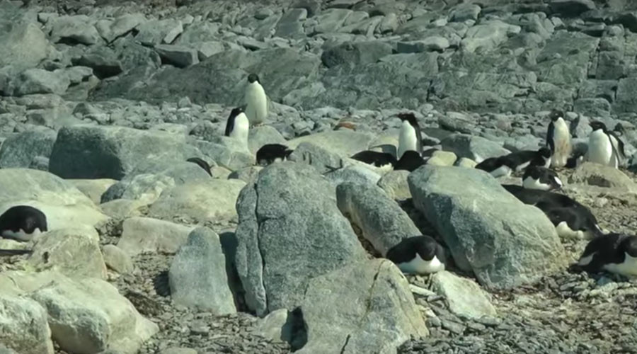 Penguin Apocalypse: Adelie colony in Antarctica faces extinction as giant iceberg blocks sea (VIDEO)