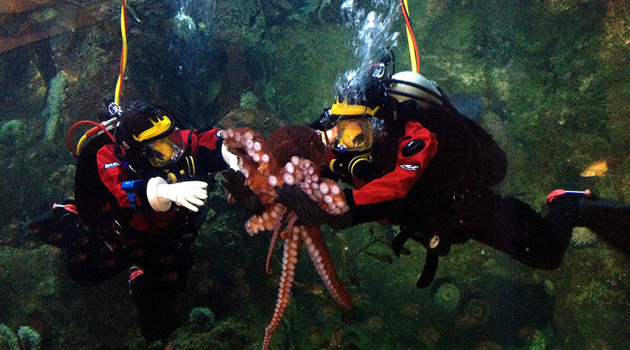 Kong the octopus will be released back into open water. © Seattle Aquarium
