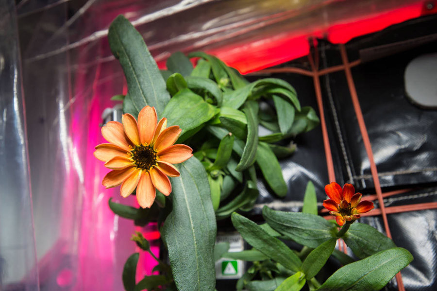 "On Jan. 16, 2016, Expedition 46 Commander Scott Kelly shared photographs of a blooming zinnia flower in the Veggie plant growth system aboard the International Space Station. Kelly wrote, ""Yes, there are other life forms in space! #SpaceFlower #YearInSpace"" © NASA"