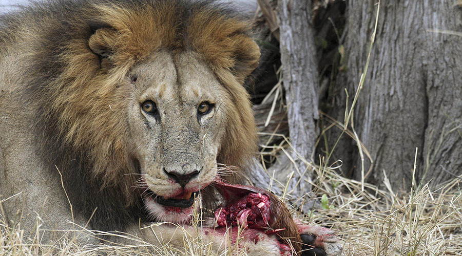 'Cecil effect': Zimbabwe park may kill 200 lions as discouraged hunters result in over-population