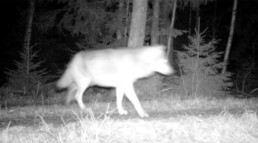 Wild wolf caught on camera for 1st time in Sweden (VIDEO)