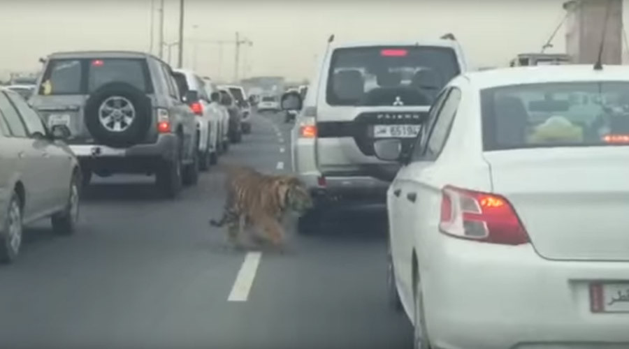 #DohaTiger: Big cat roams Qatar highway during rush hour (VIDEO)