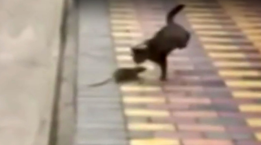 Scaredy-cat: Gutsy rodent fends off prowling feline (VIDEOS)