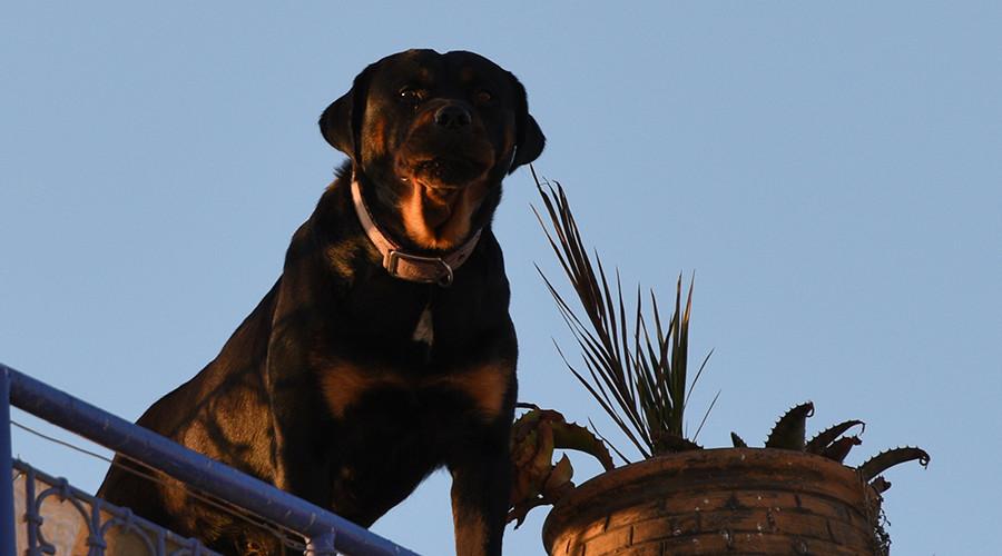Rottweilers viciously attack man trying to calm them down (VIDEO)