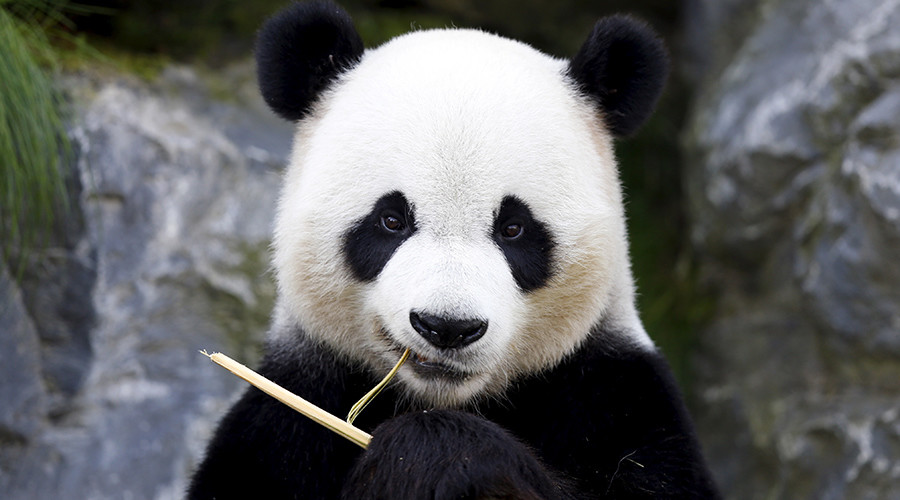 Killing the mood: Pandas' love lives ruined by noisy humans (VIDEO)
