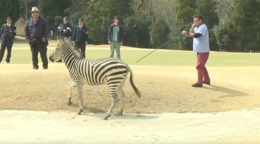 Runaway zebra drowns in golf course lake after being tranquilized (VIDEO)