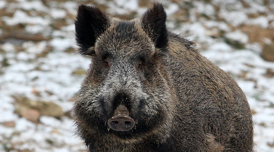Wild radioactive Fukushima boars breed like rabbits, ravage local countryside