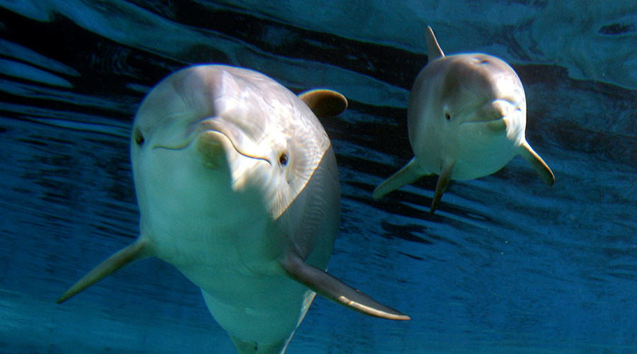 BP oil spill linked to baby dolphin deaths and diseases in Gulf Coast