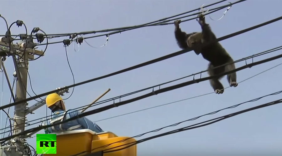 Chimp plummets from powerline in heart stopping chase after escape from Japanese zoo (VIDEO)