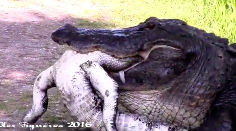 Circle of life: Gator eats another gator