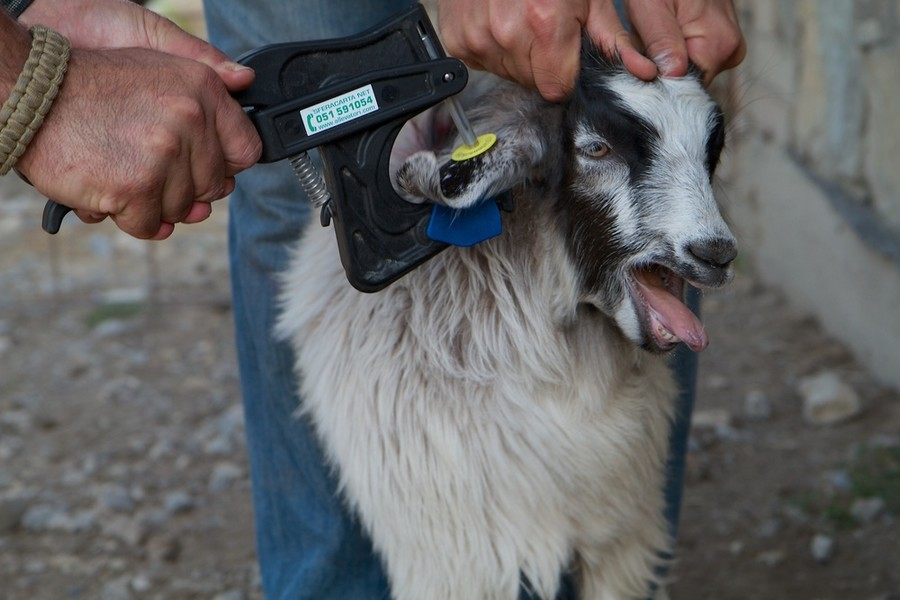 One of the goats involved in the failed $6.1 million Cashmere project