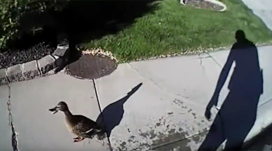 Dramatic baby duck rescue operation caught on bodycam  (VIDEO)