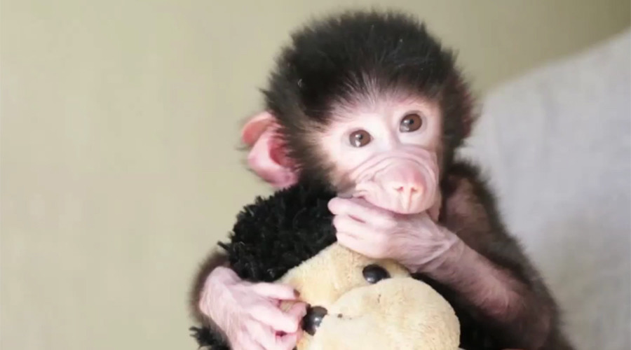 Baby baboon finds solace in doppelganger soft toy after mother's rejection (VIDEO)
