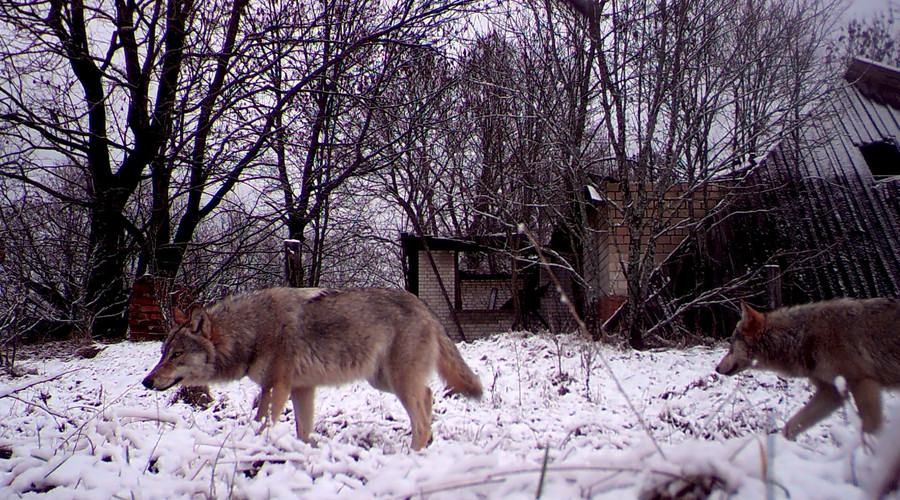 Wolves walk in the 30 km (19 miles) exclusion zone around the Chernobyl nuclear reactor in the abandoned village of Orevichi, Belarus. © Vasily Fedosenko