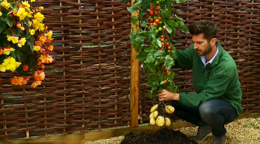 Chips & ketchup tree: Hybrid plant growing potatoes & tomatoes now on sale