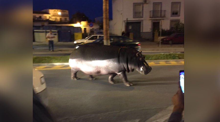 Hungry, hungry hippo: Escaped circus animal roams free in Spanish city (VIDEO)