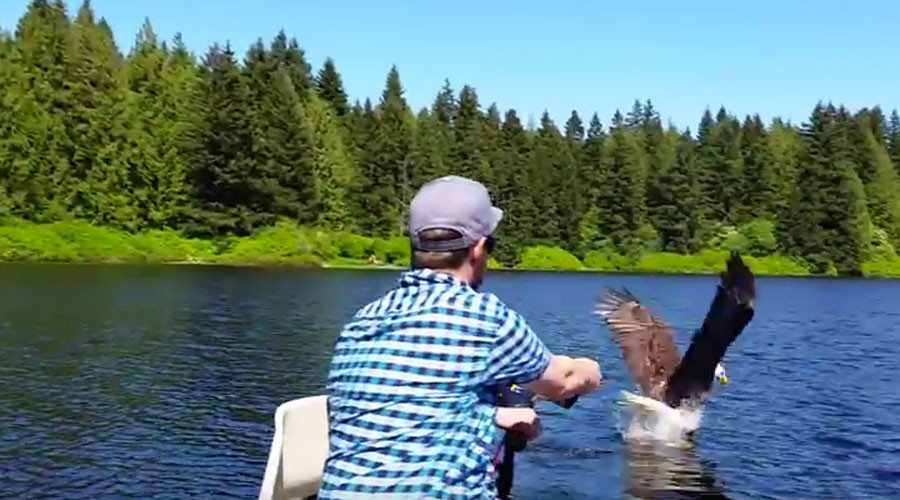 U-S-A! Bald eagle snatches fish off the line from Canadian angler (VIDEO)