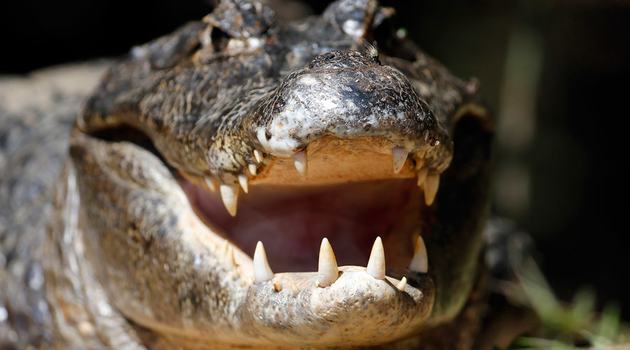 Alligator bites off arm of Florida man trying to flee the cops