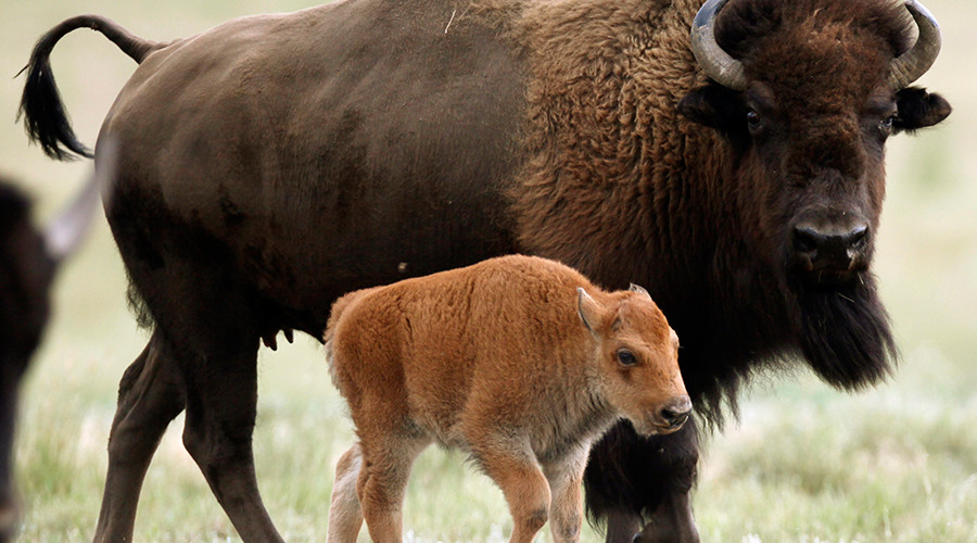 Baby bison euthanized at Yellowstone after tourists launch rash 'rescue' bid