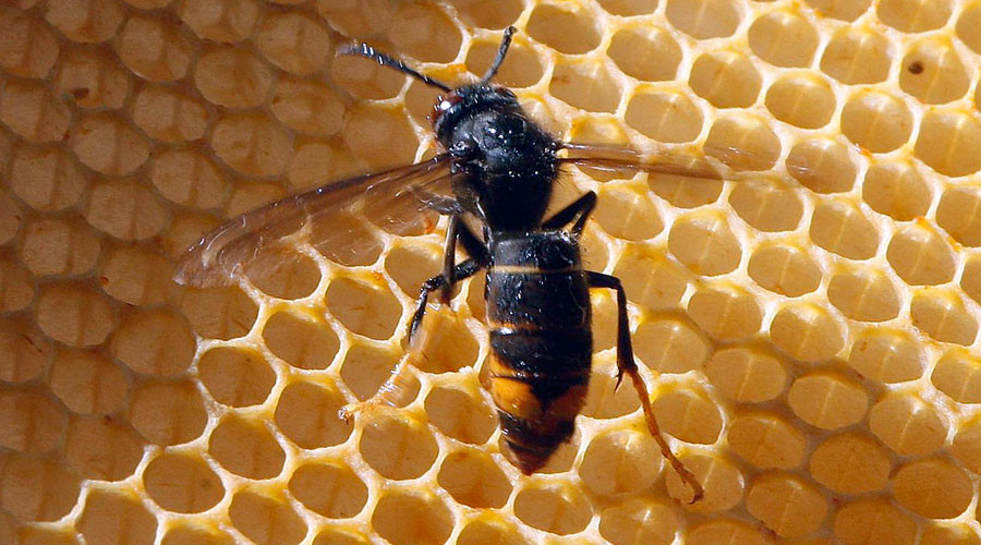 Death sting: Asian hornets potentially lethal to humans may have arrived in the UK