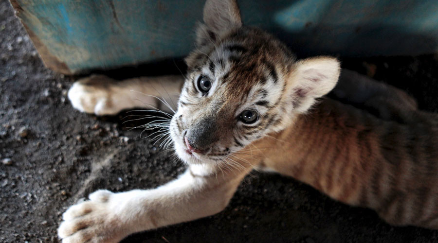 Four Tiny Tiger Cubs Found Frozen In Vietnam Animal
