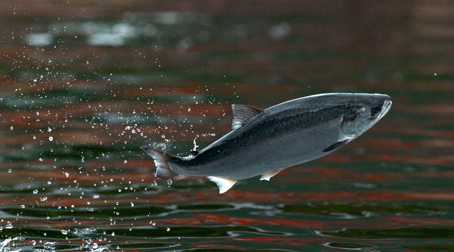Canada approves 'safe and nutritious' genetically modified salmon