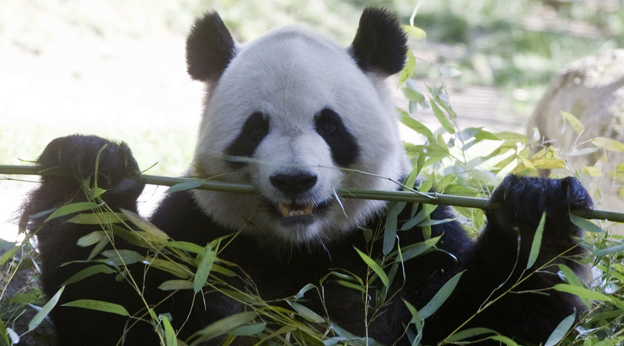 Pandas doomed? Study finds bamboo digestion may affect their sex lives