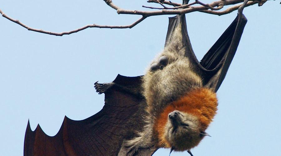 Batsh*t crazy! Swarm of 100,000 bats invades Australian town (VIDEO)