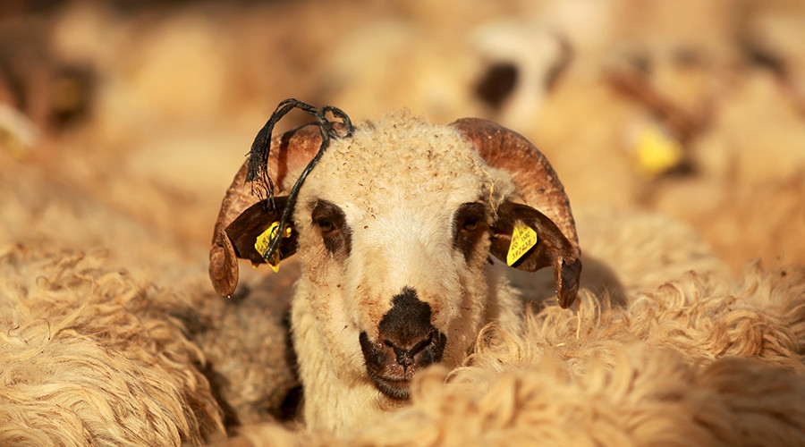 'Psychotic ram-page' feared after sheep eat cannabis plants