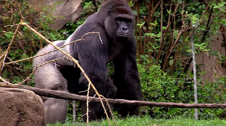 Cincinnati Zoo gorilla killed after 4yo kid falls into exhibit moat (VIDEO)