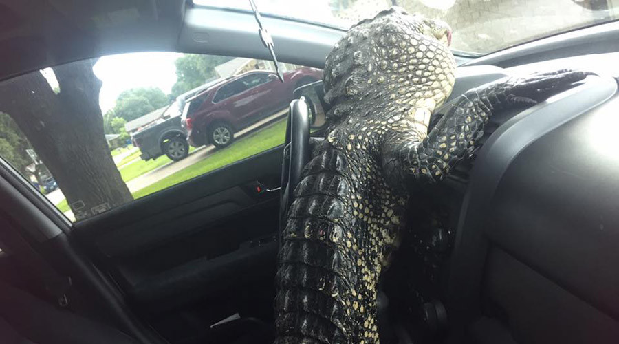 Alligator gets behind the wheel of captor's car (VIDEO)