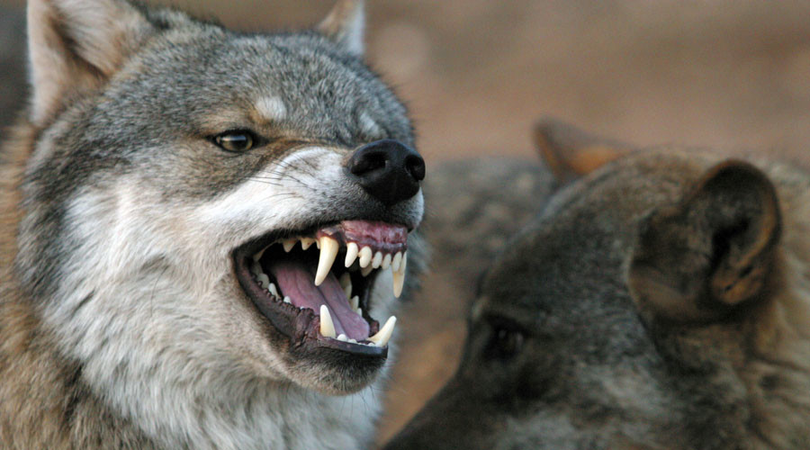 'Environmental terrorism': Horror wolf beheadings condemned in Spain (GRAPHIC PHOTOS)