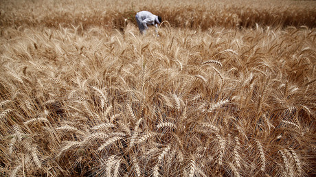 GMO crops not harming human health, but not boosting yields – report