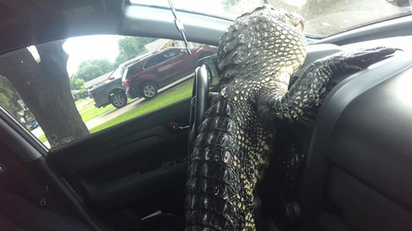 Luckily the gator never got the car on the road. © Gator Squad
