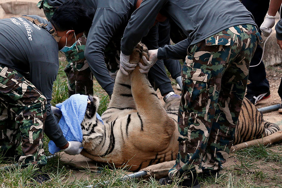A sedated tiger is stretchered as officials start moving tigers from Thailand's controversial Tiger Temple, in Kanchanaburi province, west of Bangkok, Thailand, May 30, 2016. © Chaiwat Subprasom