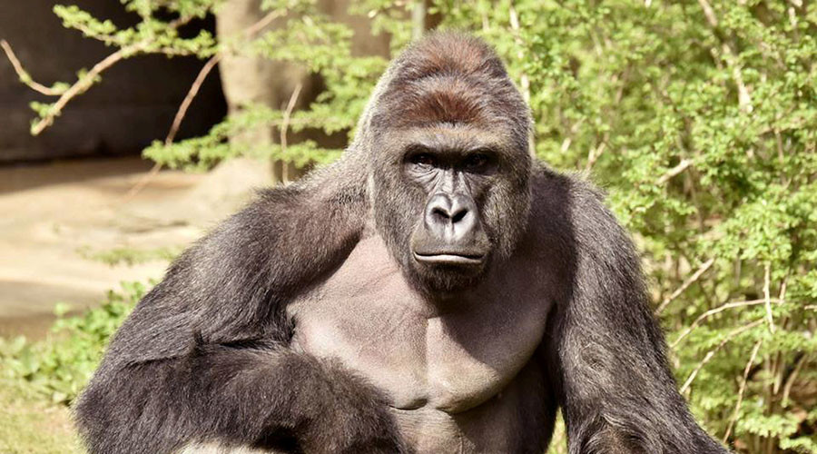 Cincinnati Police launch probe into family of child who fell into zoo's gorilla enclosure