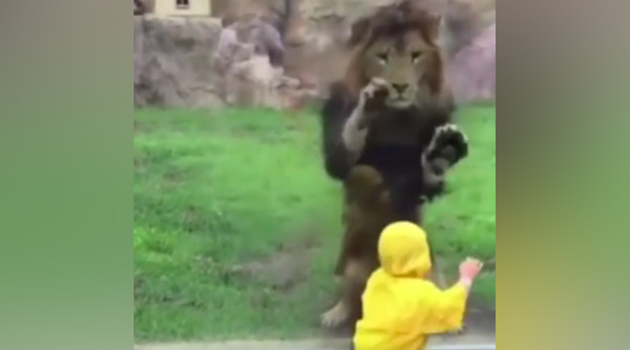 Lion eyes toddler for lunch, smashes headfirst into enclosure glass (VIDEO)