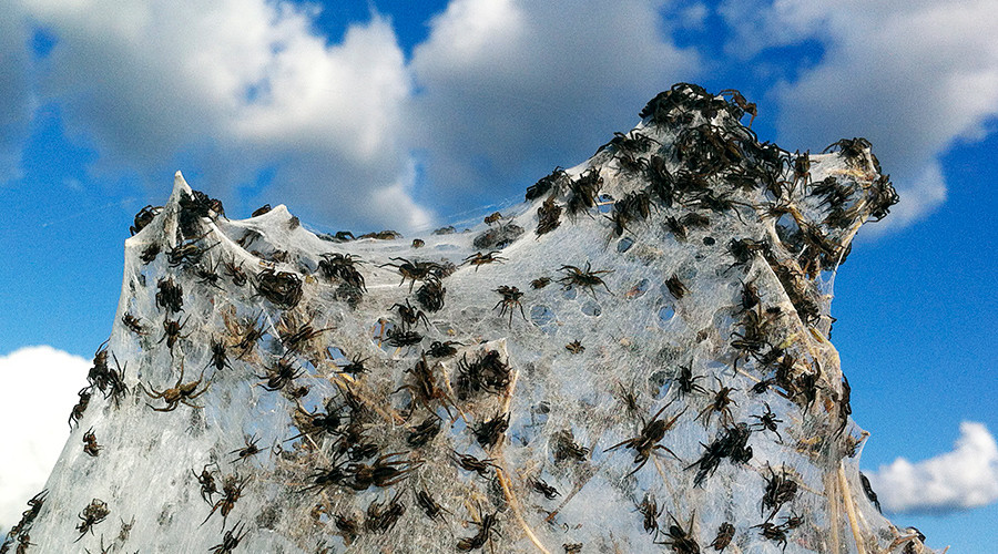 Arachnids above: Army of spiders colonize treetops to escape deadly floods (PHOTOS, VIDEO)