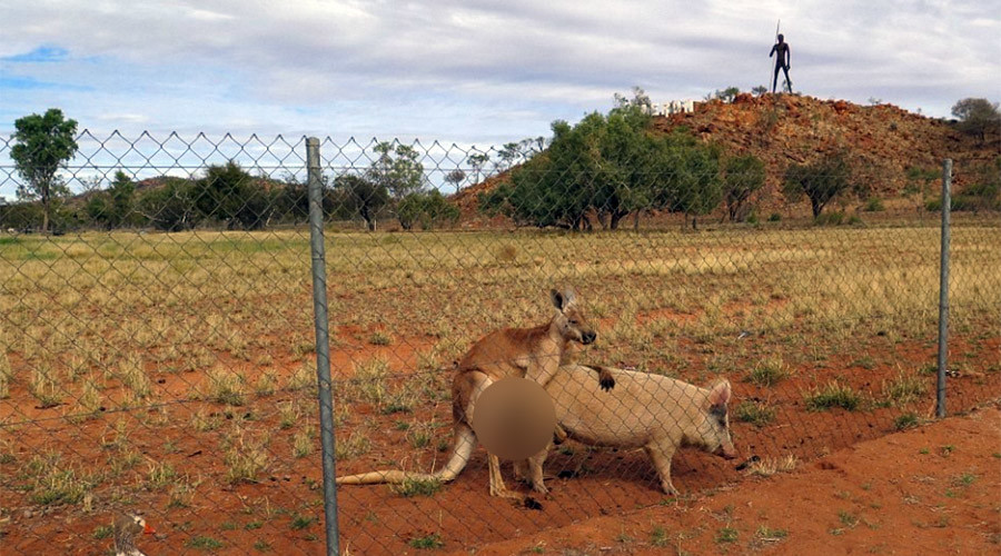 Kangaroo & pig 'get it on' Marvin Gaye-style in bizarre Outback romance (PHOTOS)