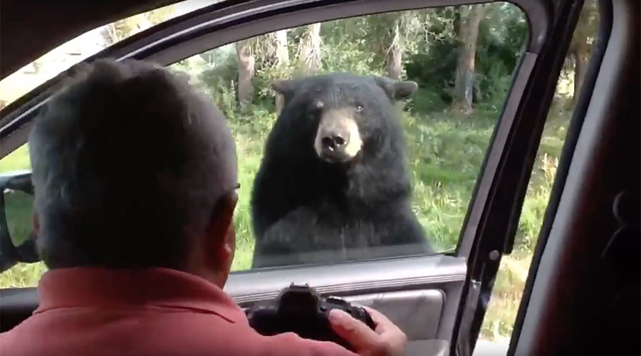 Lock your doors: Yellowstone bears figure out how to open cars (VIDEO)