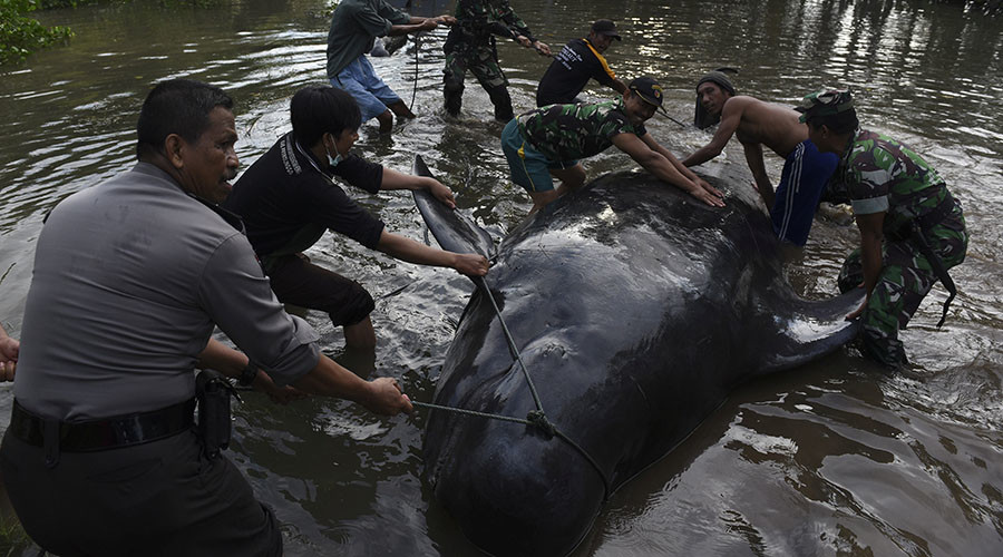 At least 10 whales die, more set to perish after mass stranding off Indonesia (PHOTOS)